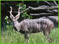 kudu_Tragelaphus strepsiceros pictures