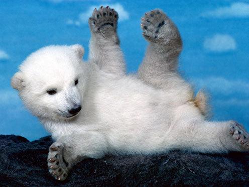 Rasta Lion Hd Wallpaper Funny Baby Polar Bear Cubs Funny Animal