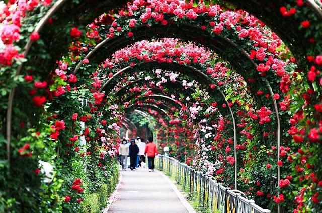 First Bulgarian Rose Festival in Ha Noi to open Mar. 3