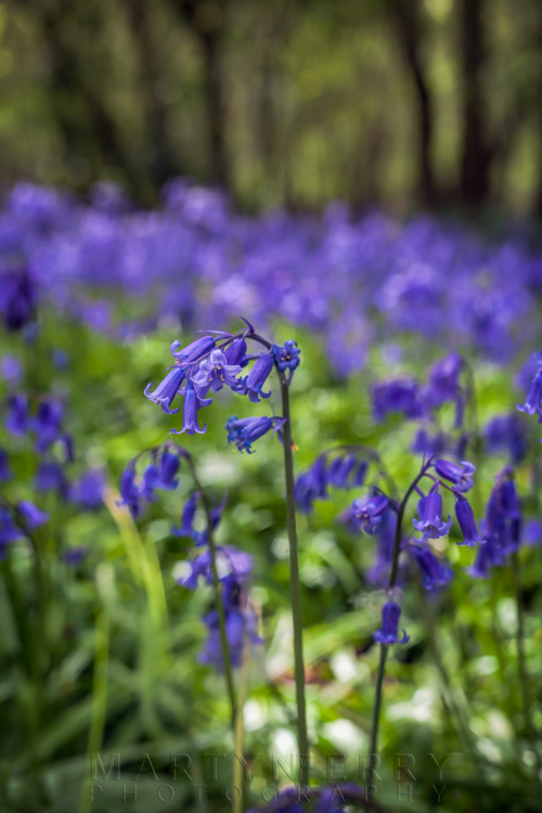Close up image of bluebells on the woodland floor in Brampton Wood