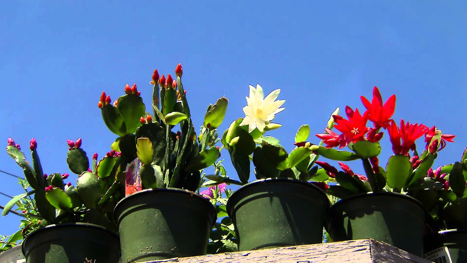 How To Grow Easter Cactus ! Garden Bible