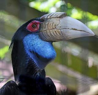 Wreathed hornbill - Rhyticeros undulatus female