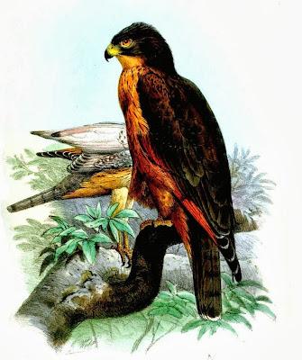 Busardo langostero Butastur rufipennis