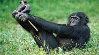 bonobo pictures