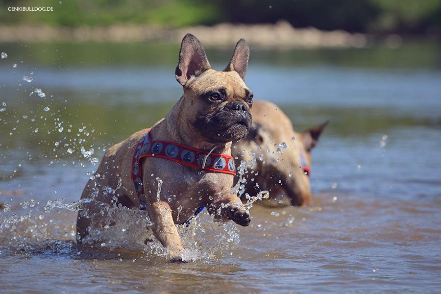 Hundeblog Genki Bulldog - Abenteuer einer Französischen Bulldogge - Hass auf Steine