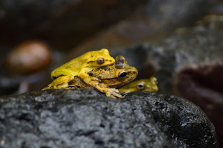 yellow frogs in Costa Rica