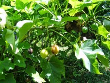 Daun jarak ialah tanaman bergetah yang biasa dijadikan sebagai penyangga pagar Manfaat Daun Jarak, Getah, Biji untuk Kesehatan