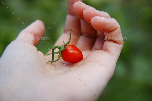Women's arm holding red ripe tomato
