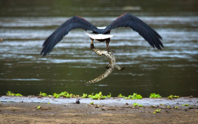 eagle-eating-crocodile-tanzania
