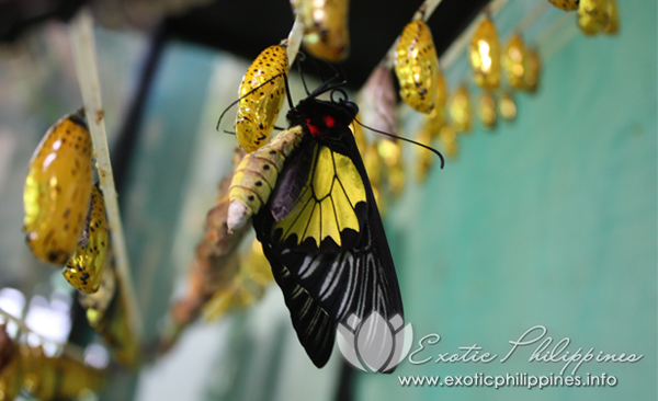 7 Fun Facts About Butterflies The Habitat Conservatory Center Bohol Philippines