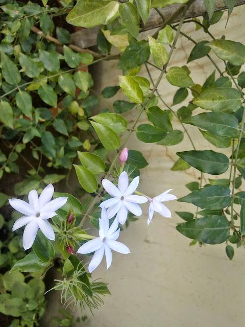 Jasmine S Terrace Cartoon: Plants Growing In My Potted Garden.: The Scent Of Sweet