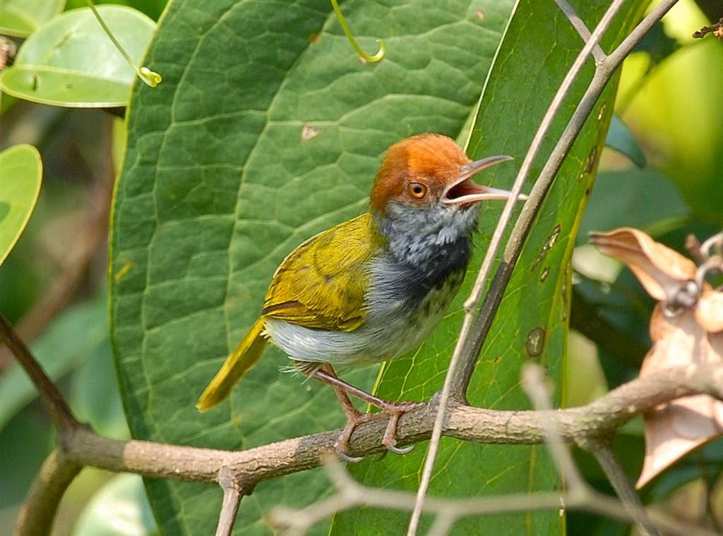 Kisaran Harga Burung Prenjak Tahun 2015