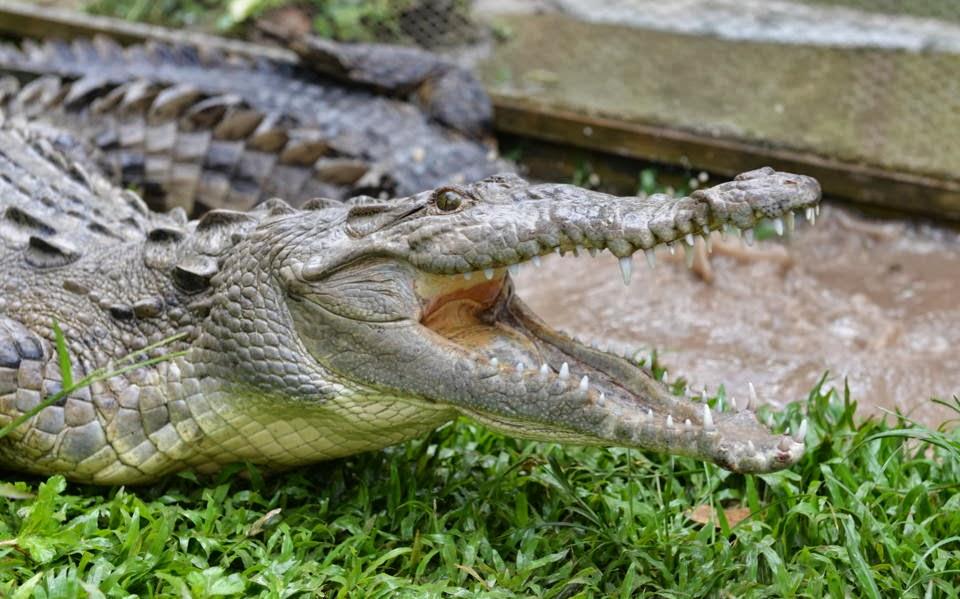 jamaican crocodile - photo #7