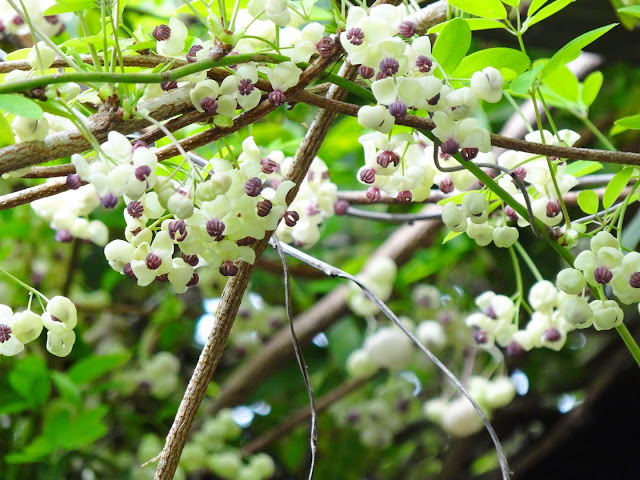 Akebia quinata - liane ou vigne chocolat - Page 2 DSC01392