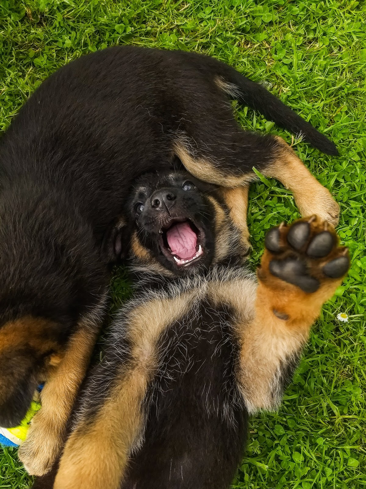 A German Shepherd puppy with his mouth open and his paw in the air lying on the grass.