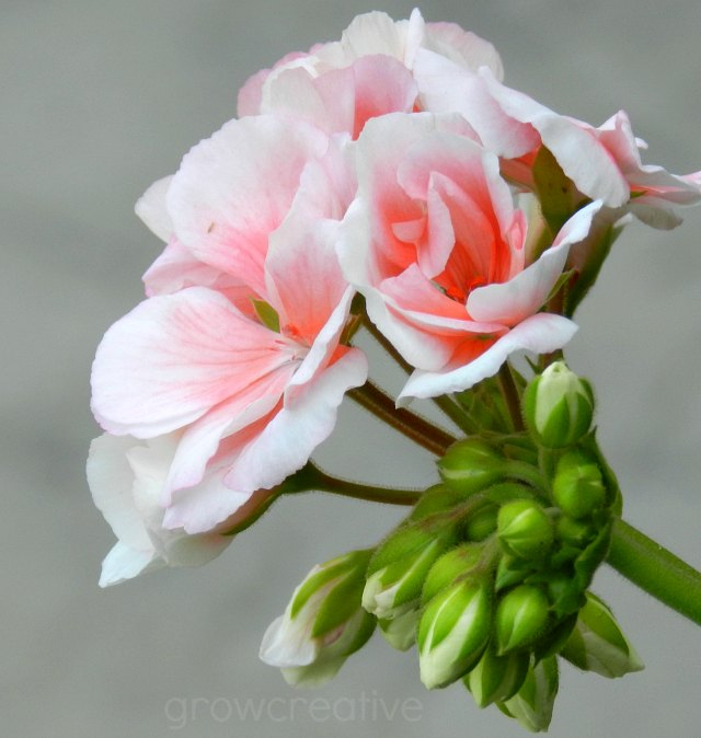 pale pink geraniums- Thanksgiving Point Utah