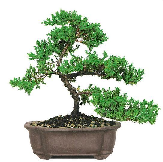 Most Popular Bonsai Trees Bonsai Tree Types