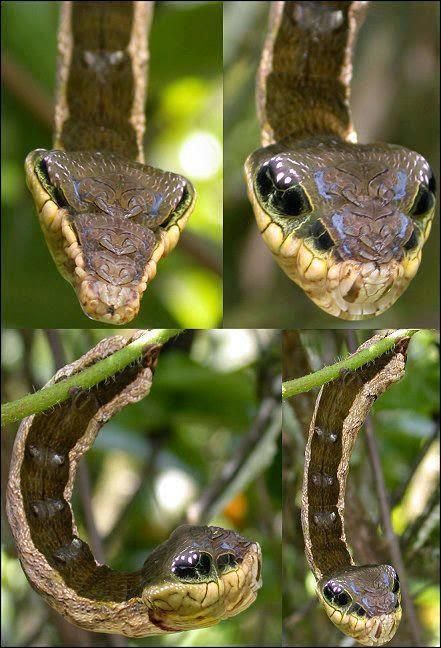 lagarta-cobra