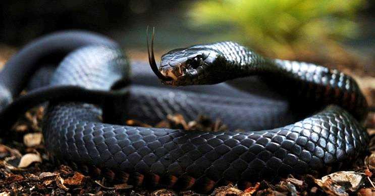 Kara mamba diğer yılan türlerine oranla daha saldırgandır, kendi gibi gözü de karadır.