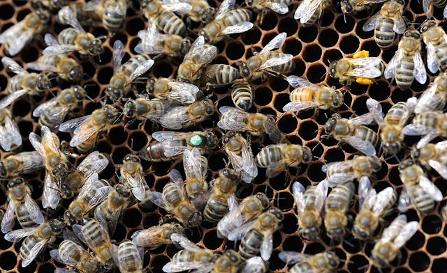 Πως επηρεάζεται η ανάπτυξη του μελισσιού ανάλογα με τη διάρκεια του Χειμώνα;