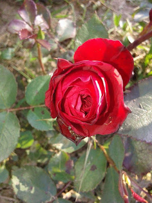 Kako saditi ruzu, negovati i zalivati