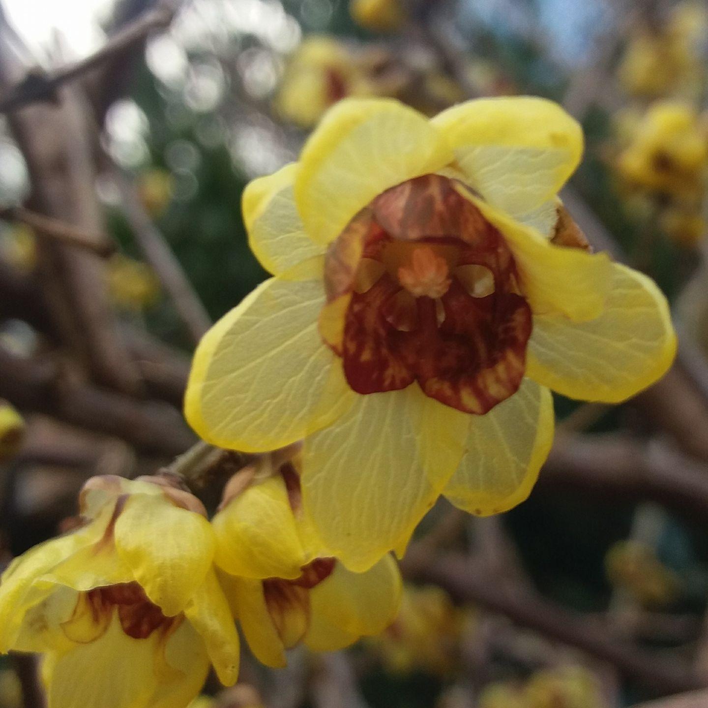 Calicanto Fiore D Inverno il calicanto, fiore d'inverno- calycanthus and its winter