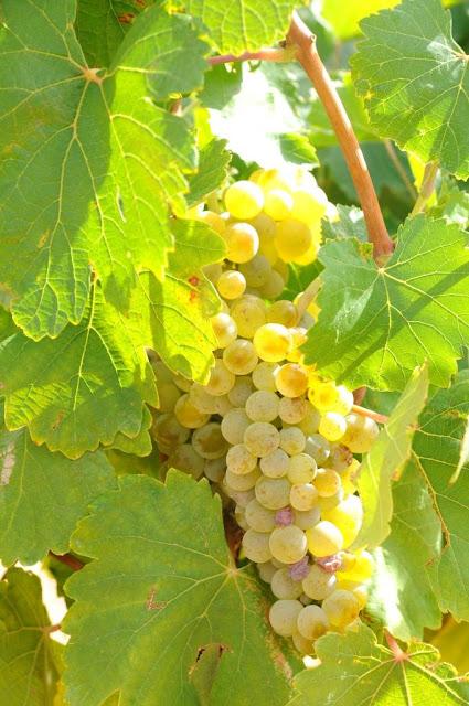 verdejo, wijntoerisme spanje, spaanse witte wijnen, rueda wijnen, oenotoerisme, wijntoerisme spanje,