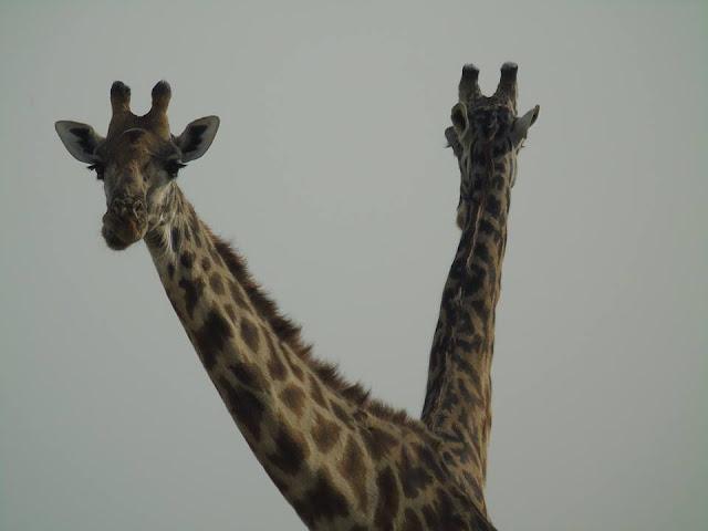 Giraffes Masai Mara Safari Kenya