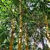 Bambou : bienfaits sur les articulations, ongles, cheveux