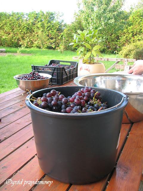 domowe wino winogronowe, zbiór winogron, ogród przydomowy