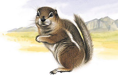 Harri´s antelope Squirrel