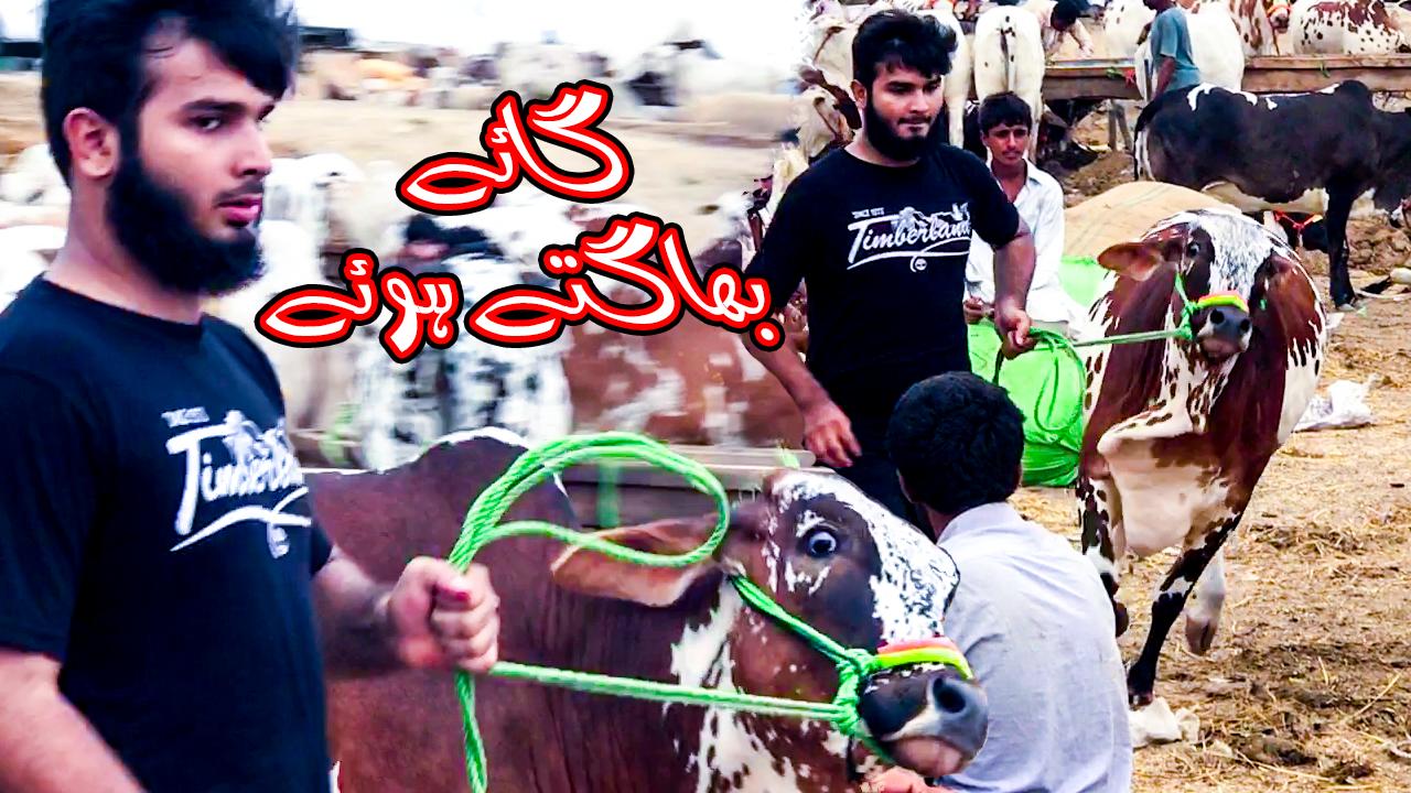 Cow Mandi Memories: Beautiful Active Sahiwal Cow Running in