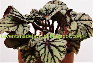 begonia-fedor