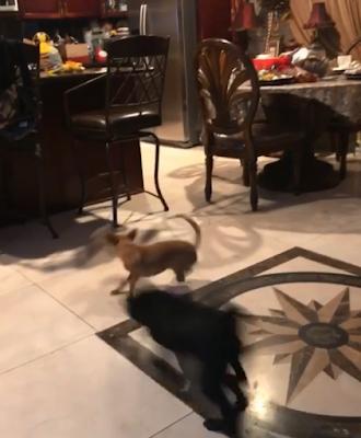 luke vader chihuahua pug spin move