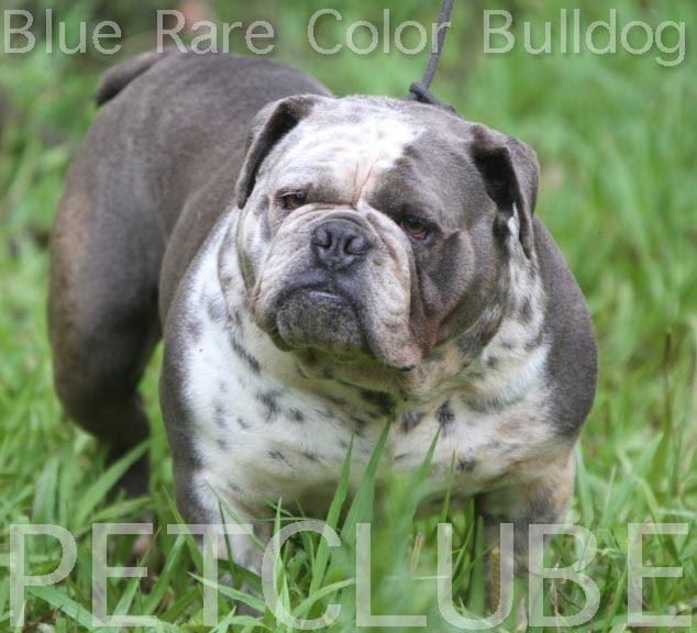 Bulldog Ingles Miniature Blue Bulldog Cinzaazul