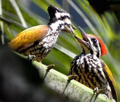 Video Burung Pelatuk Bawang Jantan dan Betina Gacor di Alam Liar