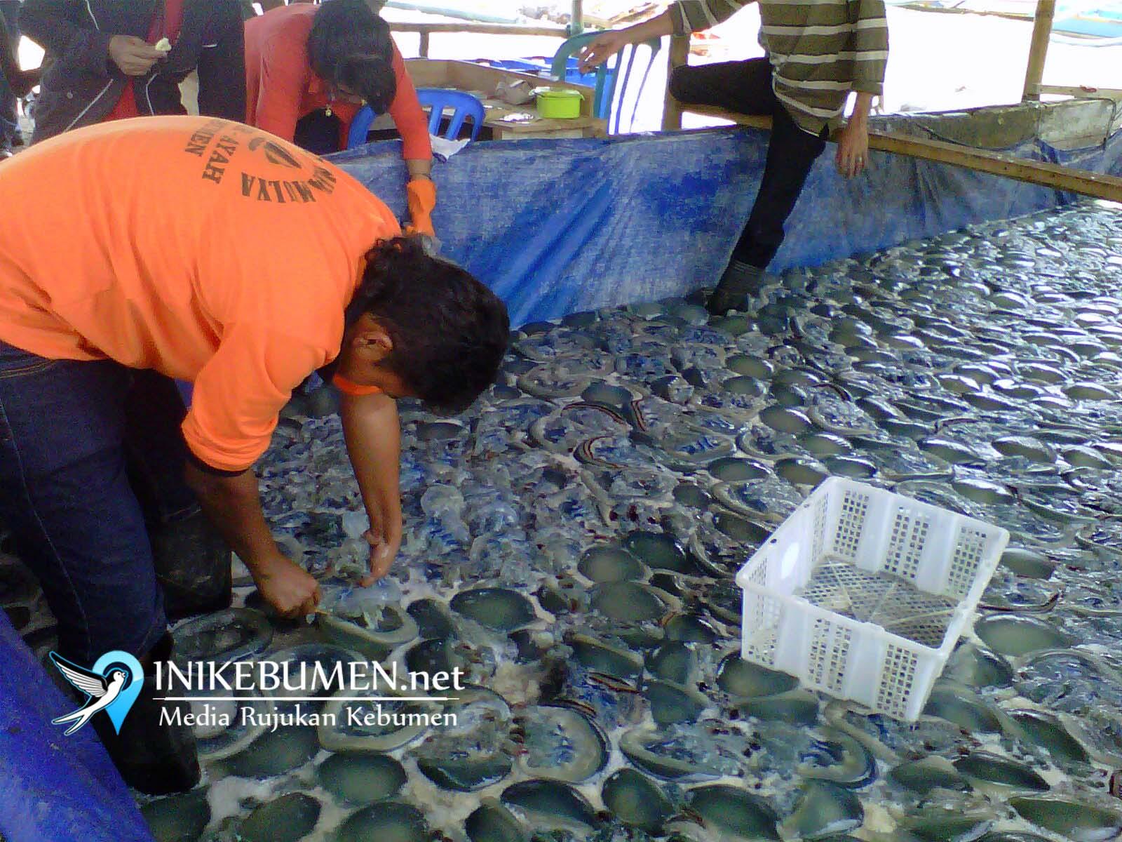 Nelayan Pesisir Selatan Kebumen Mulai Panen Ubur-ubur