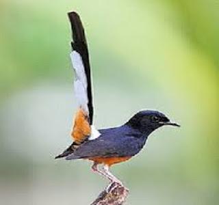Burung Murai Batu - Siklus Produksi dan Pertumbuhan Burung Murai Batu -  Penangkaran Burung Murai Batu