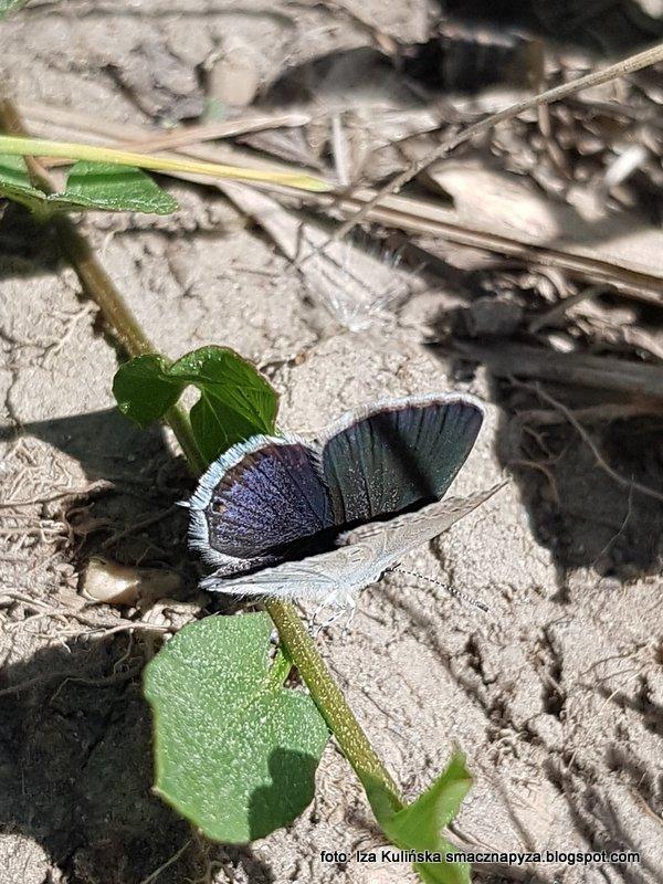 motyl, niebieski, motyle, wiosna, owady