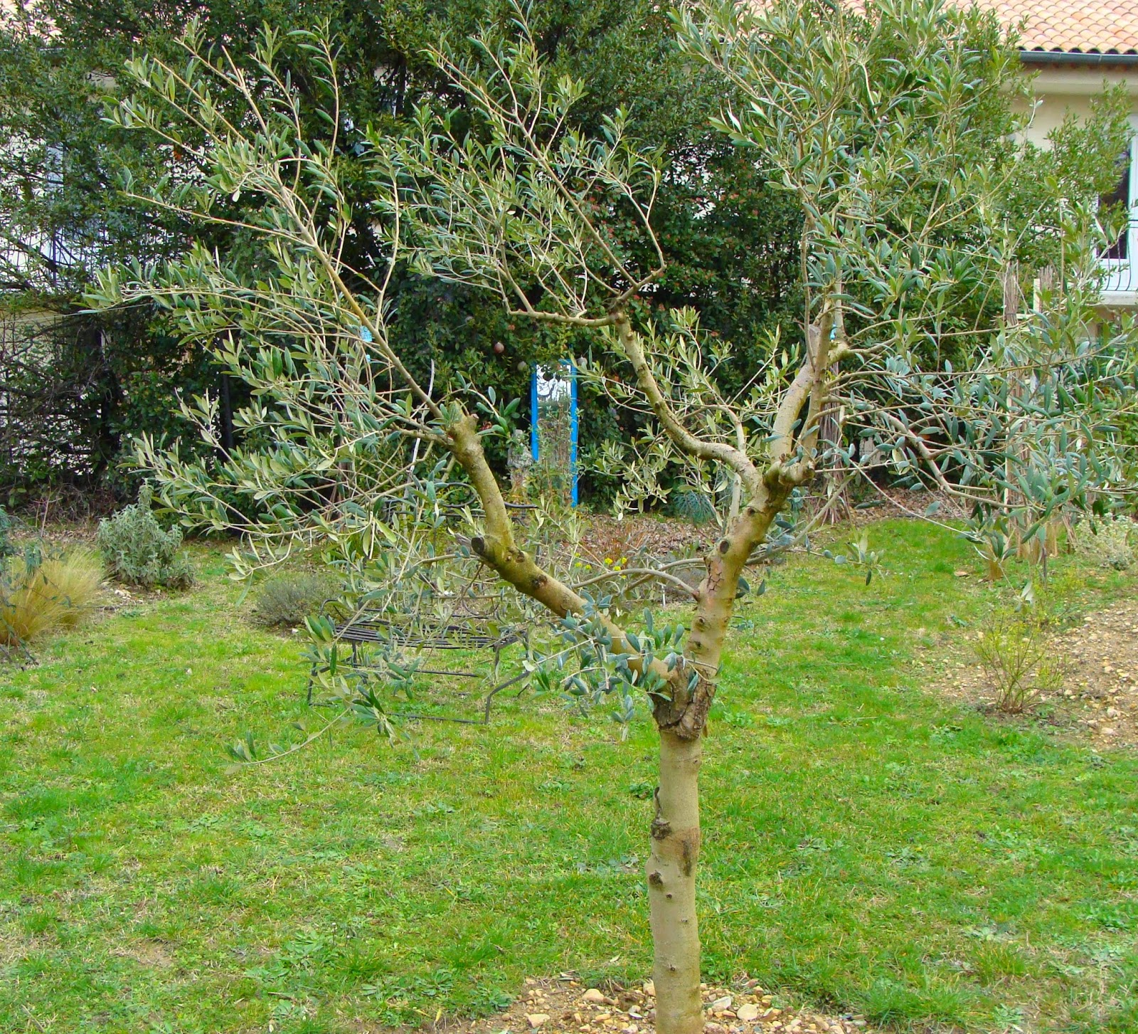 Comment Et Quand Tailler Un Olivier | Awesome Jardin Taille Olivier ...