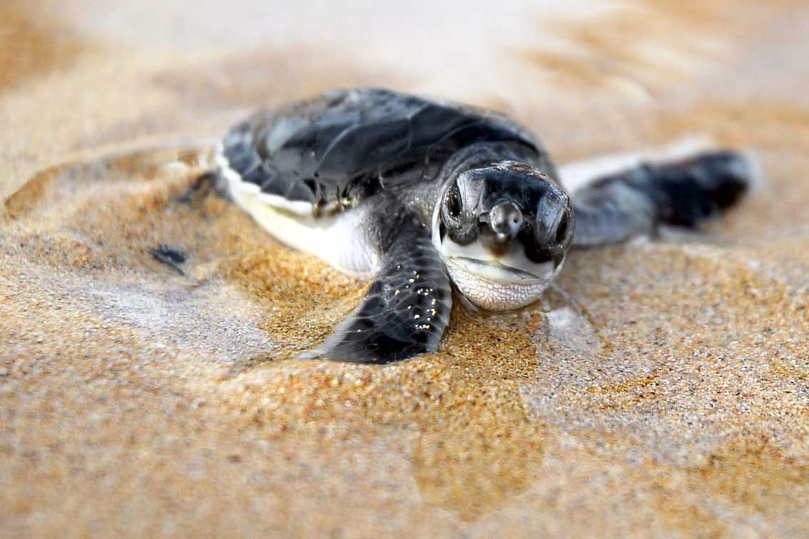 Baby Sea Turtles Will Soon Start Emerging From Their Nests ...  |Baby Sea Turtles
