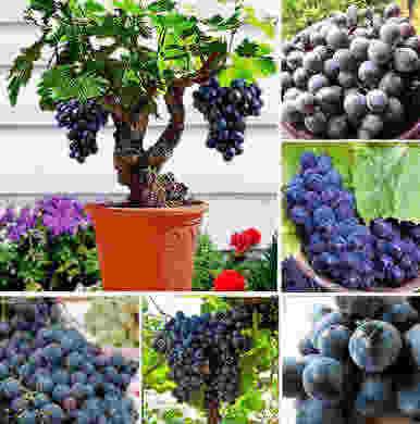 Bibit Unggul Buah-Buahan Anggur