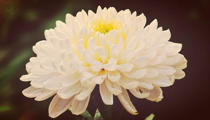Como cuidar una planta crisantemo
