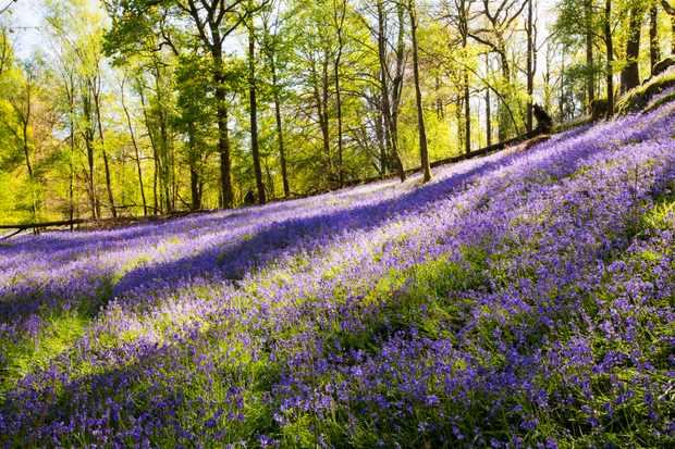 Indahnya Bunga Blubell Bak Lukisan Di England