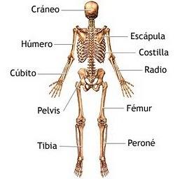 Dibujo del Sistema óseo para niños indicando partes
