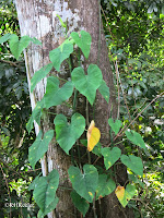 philodendron in the rainforest, Panama