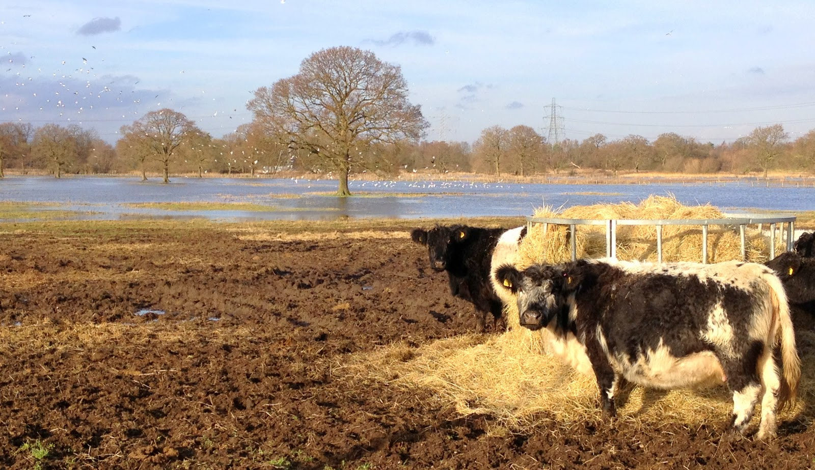 Farms flood in England