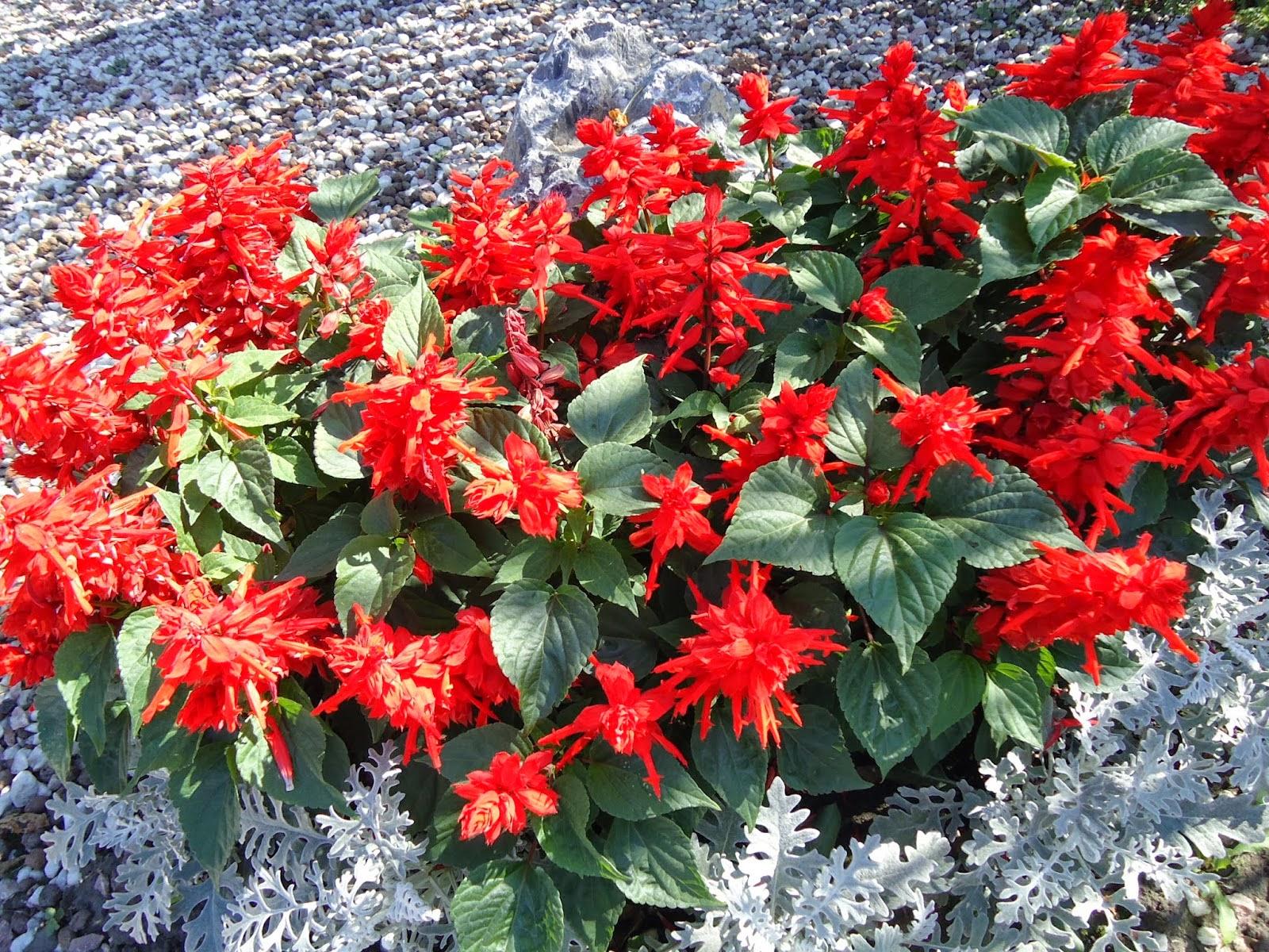 Садовые цветы красного цвета с фото и названиями Клуб любителей дачи 78