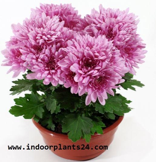 Florist's Chrysanthemum (Chrysanthemum Morifolium) Indoor Plant image