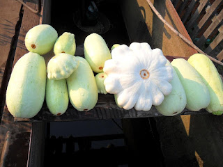 Урожай кабачков и патиссонов